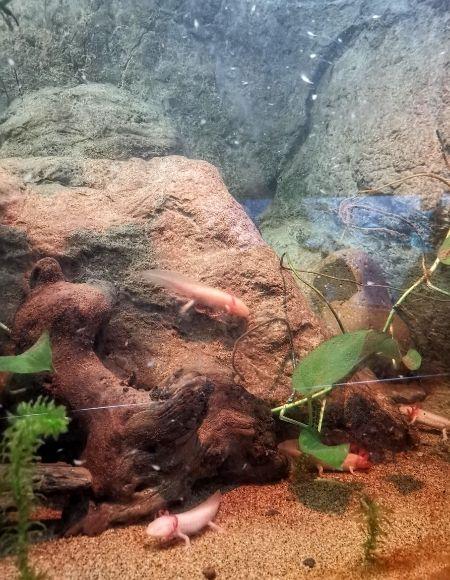 acuario con ajolotes